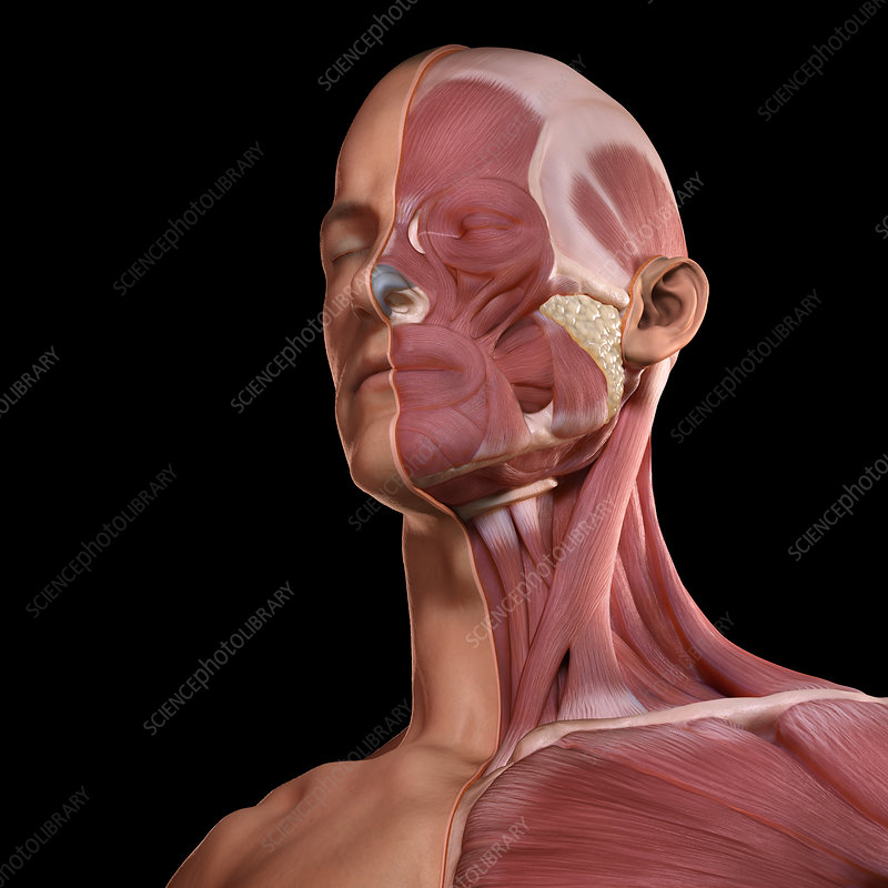 Facial Muscles, illustration