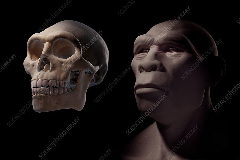 Homo Erectus with Skull, illustration