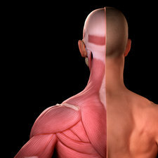 Upper Body Muscles , illustration