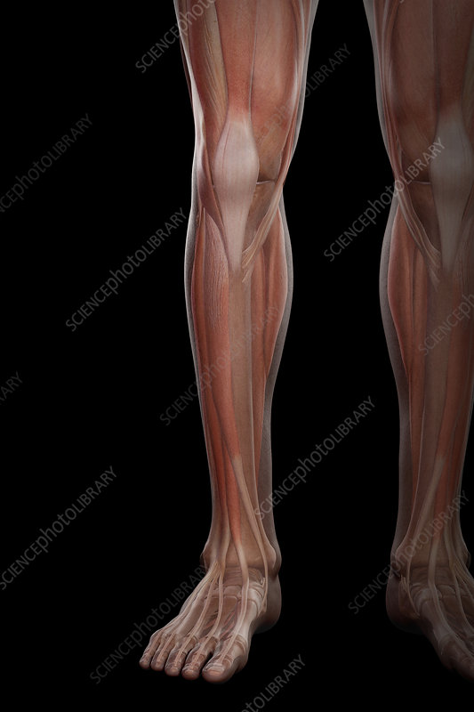Leg Musculature, illustration