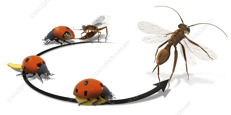 Wasp parasitising ladybird, illustration