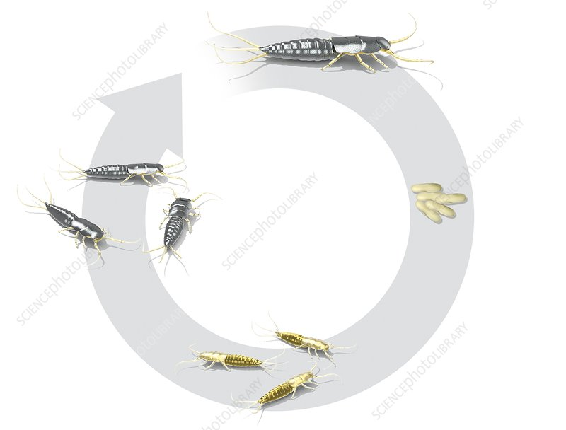 Silverfish life-cycle, illustration