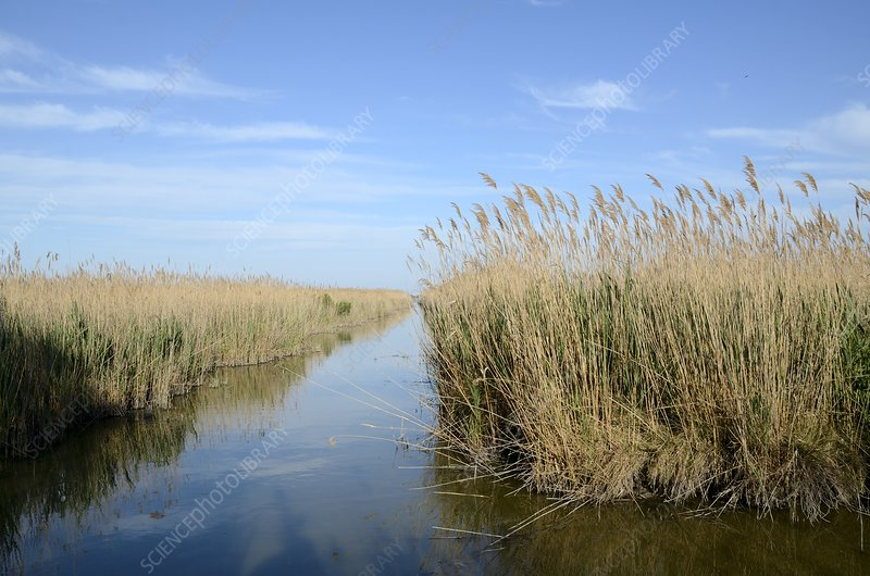 Reed beds, France
