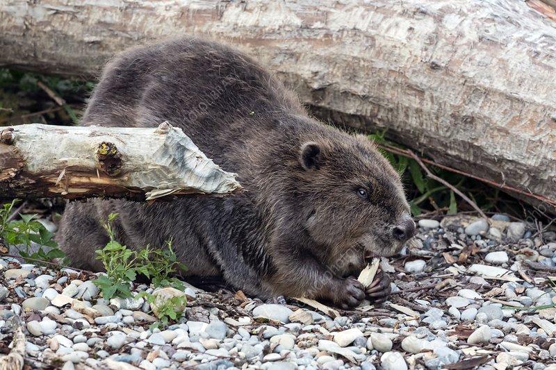 Beaver eating bark