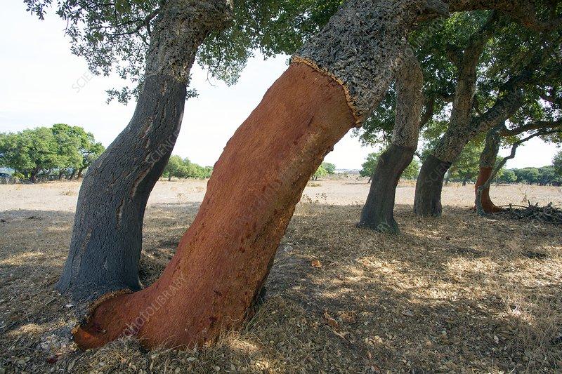Cork oaks in Sardinia