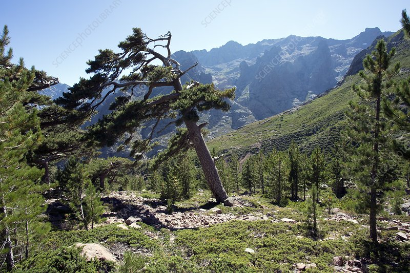 Corsican pines and Monte Cinto