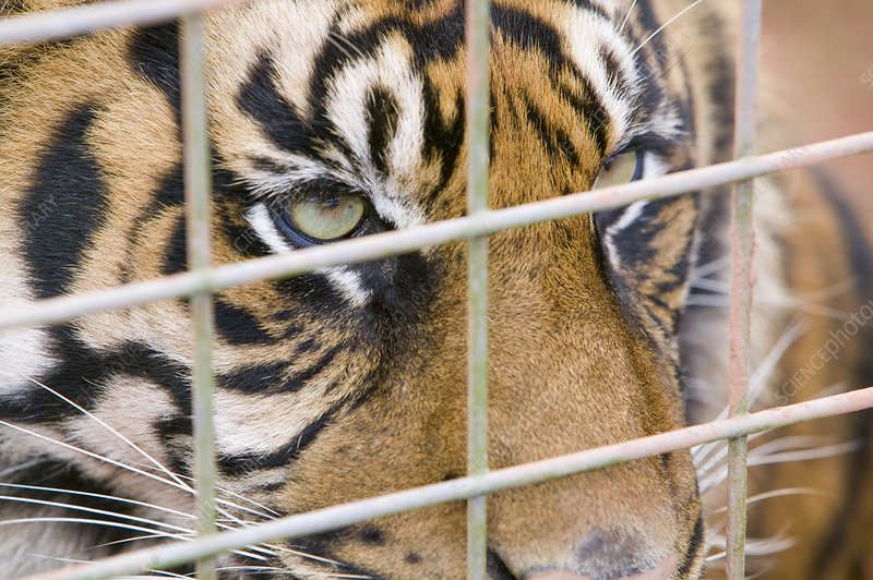 A Sumatran Tiger in Dalton Zoo