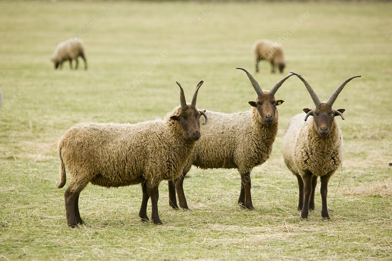 Soay Sheep in Leicestershire UK