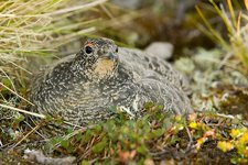 A female Ptarmigan sat on a nest