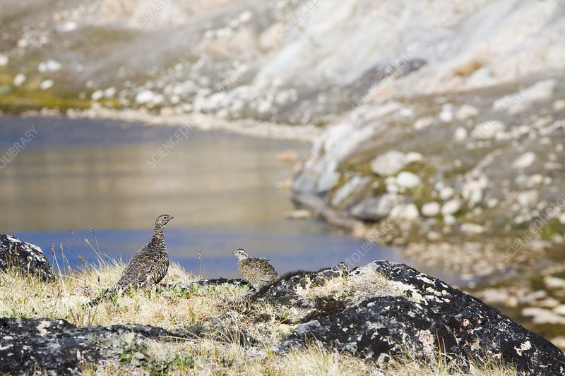 A female Ptarmigan with young