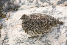Female Ptarmigan on the Greenland tundra