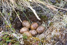 A Ptarmigans nest on the Greenland tundra
