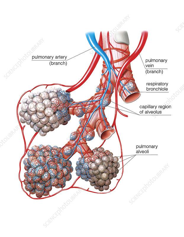 Lung anatomy, illustration