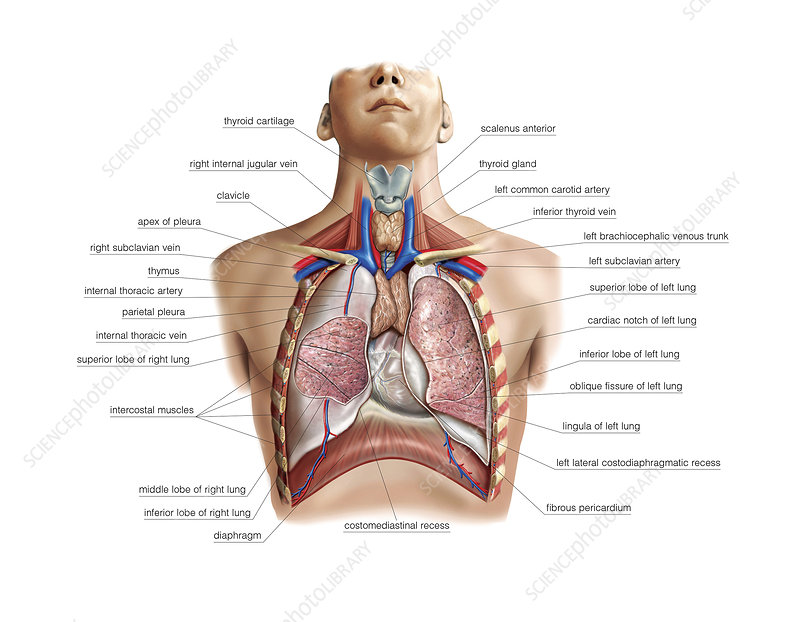 Lungs and Pleura, illustration
