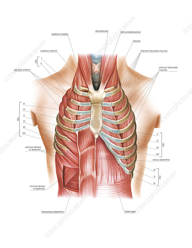 Respiratory Muscles, illustration
