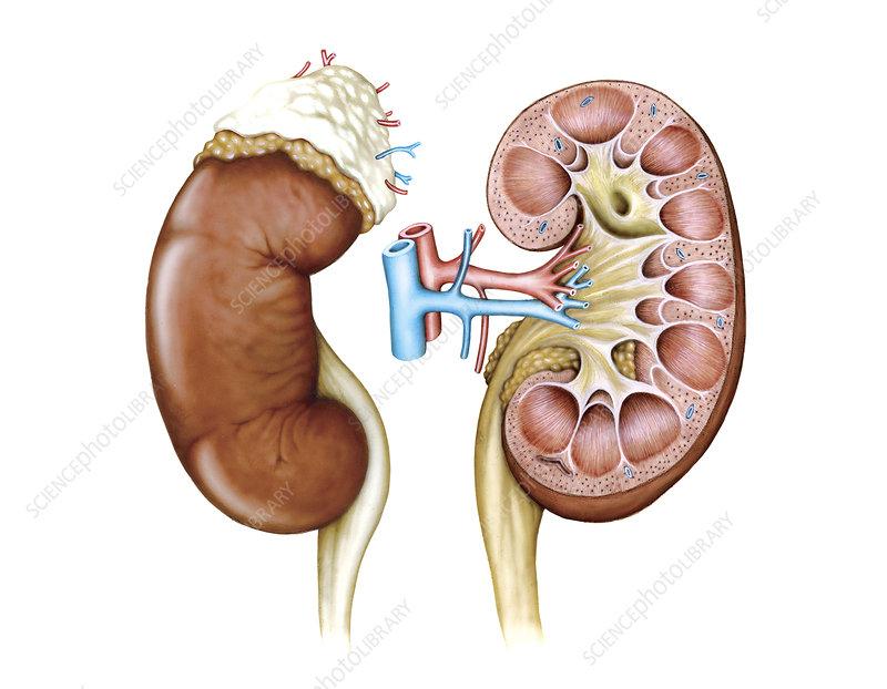 Kidney, illustration