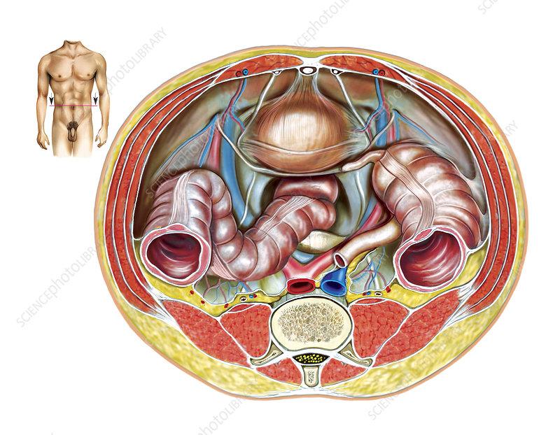 Male Genital System, illustration