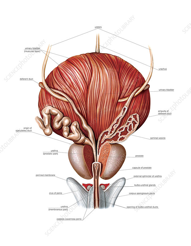 Male Genital System, illustration