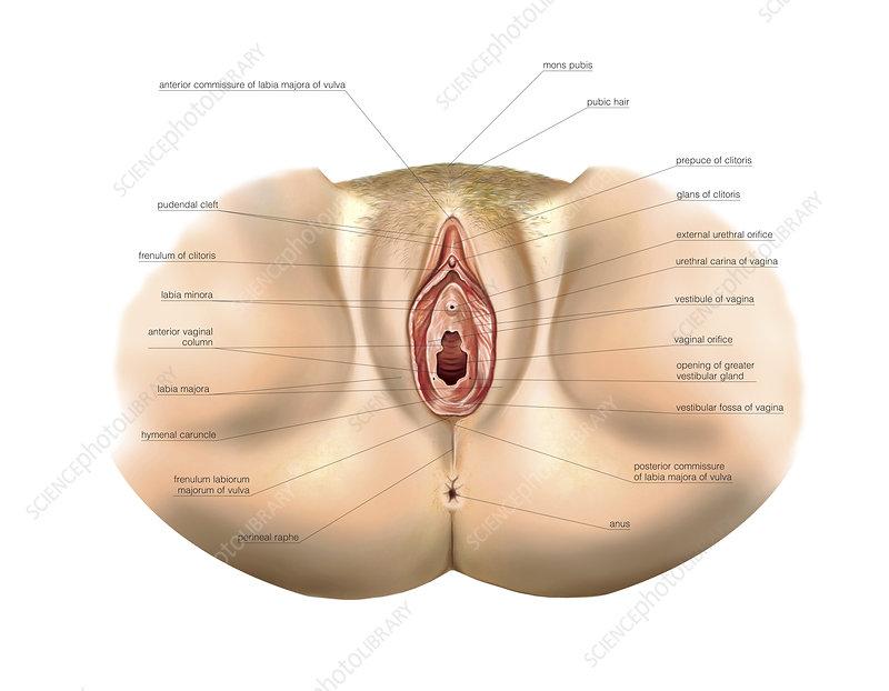 Female Genital System, illustration