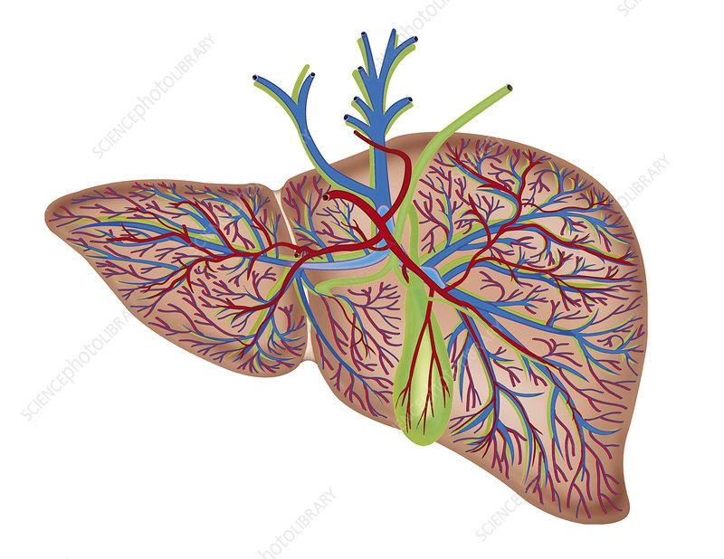 The Liver, illustration