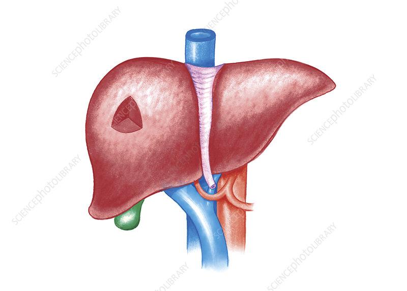 The Liver, illustration