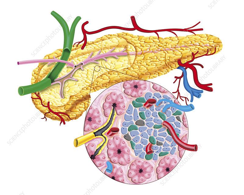 The Pancreas, illustration