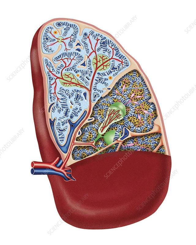 The Spleen, illustration