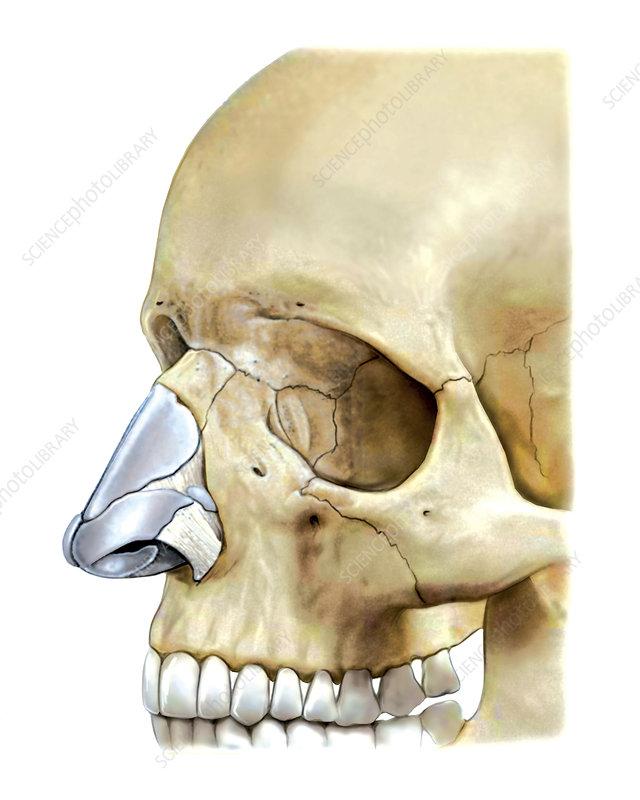 Nose, illustration