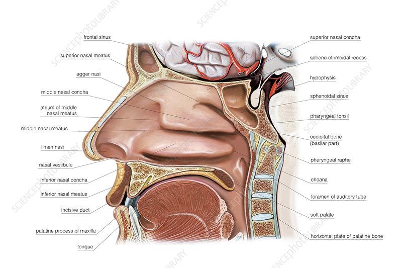 Nasal Cavity, illustration