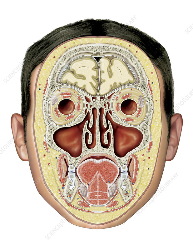 Paranasal sinuses, illustration