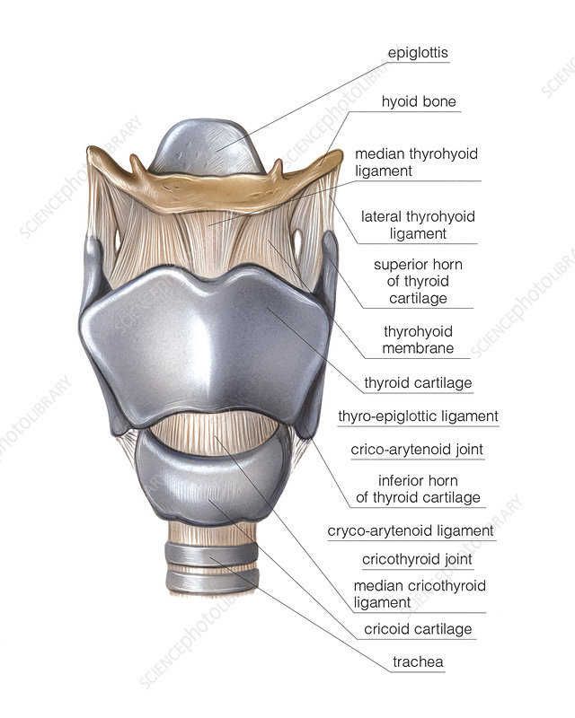 Larynx, illustration