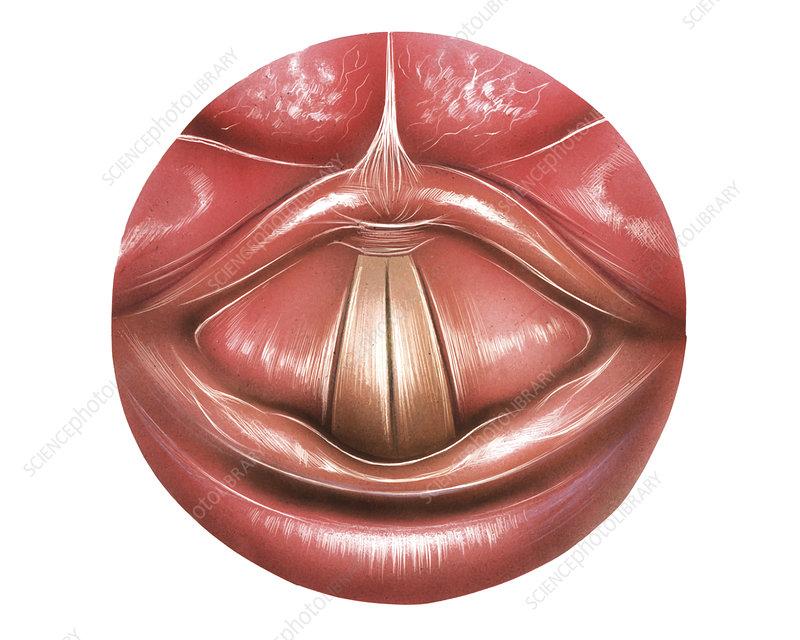 Vocal Folds, illustration