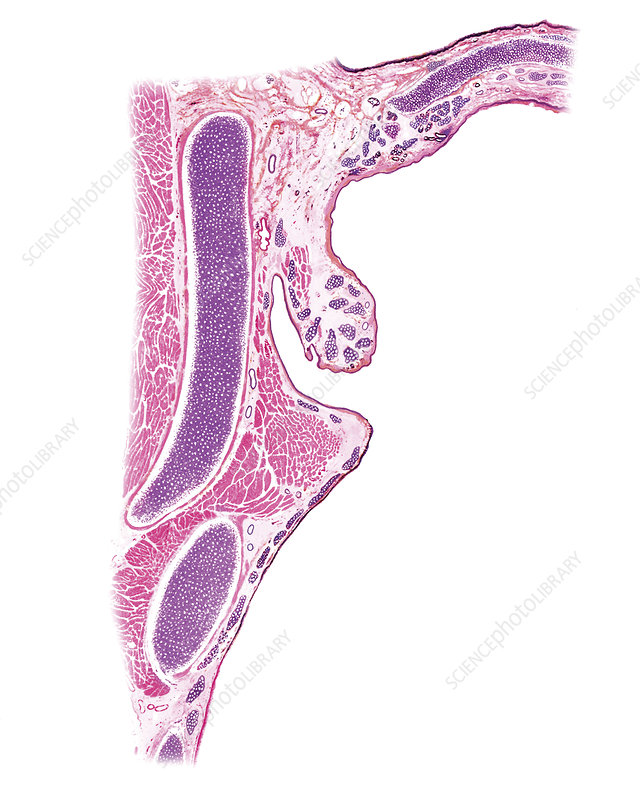 Larynx, illustration