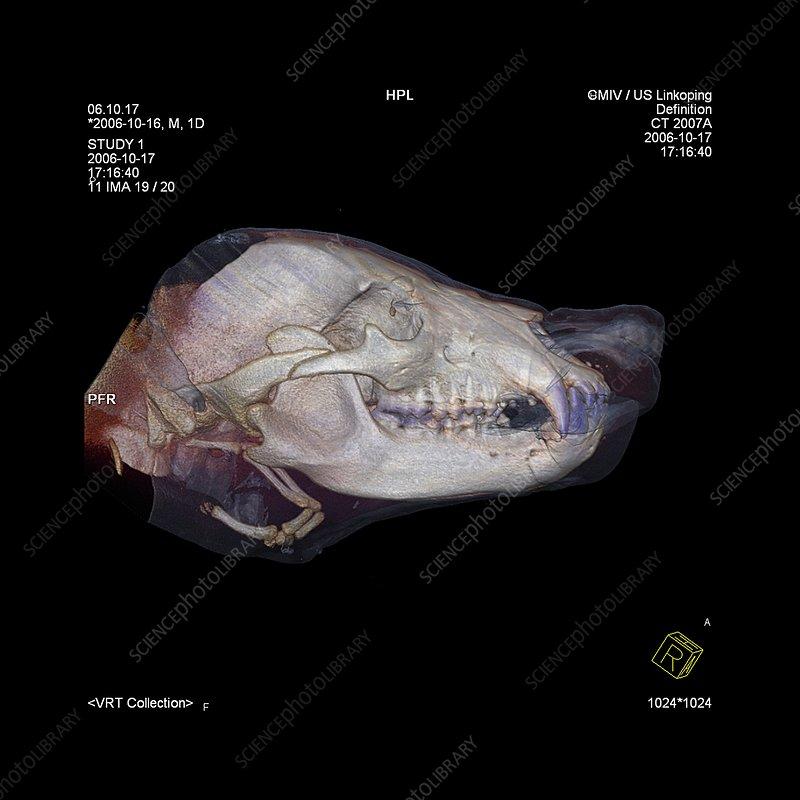 Bear's head, CT scan