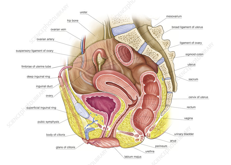 Female Genital System, illustration