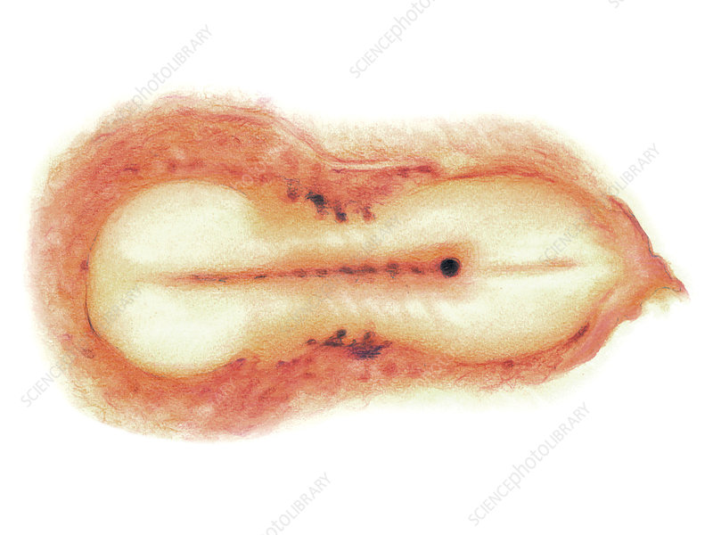Embryo, illustration