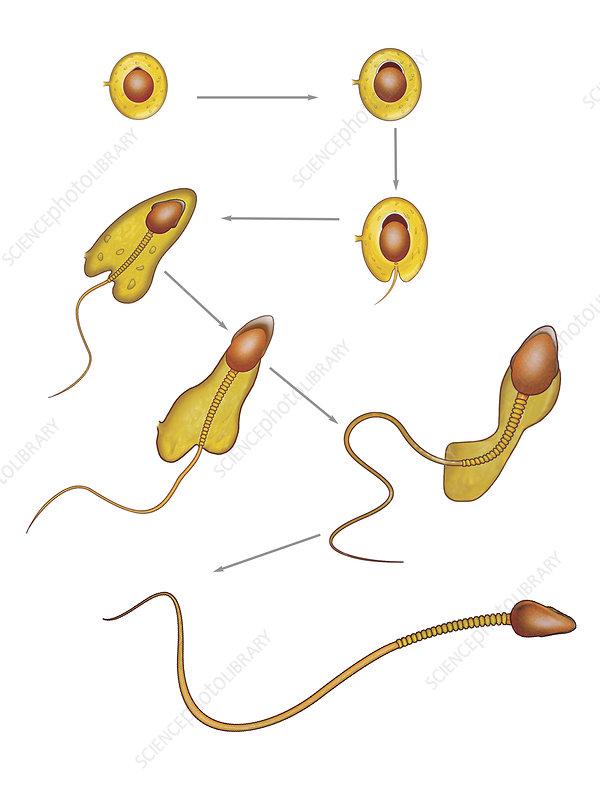 Spermiogenesis, illustration