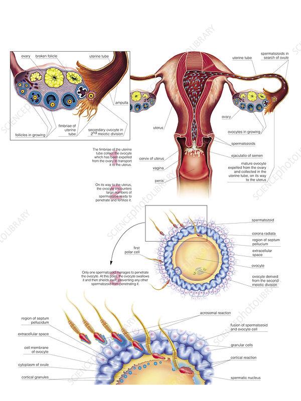 Oocyte penetration, illustration
