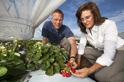 Strawberry crop disease research