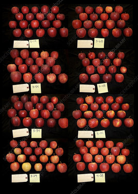 Apples grown on different rootstocks