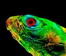 Zebrafish head, micro-CT scan