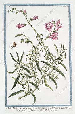 Antirrhinum majus, 18th century
