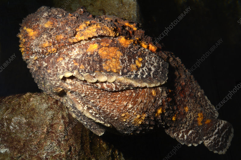 Stonefish camouflaged against a rock