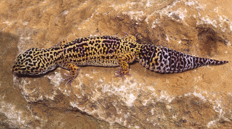 Leopard gecko on a rock