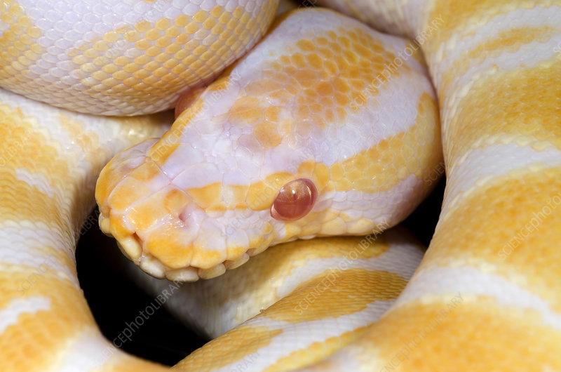 Albino royal python