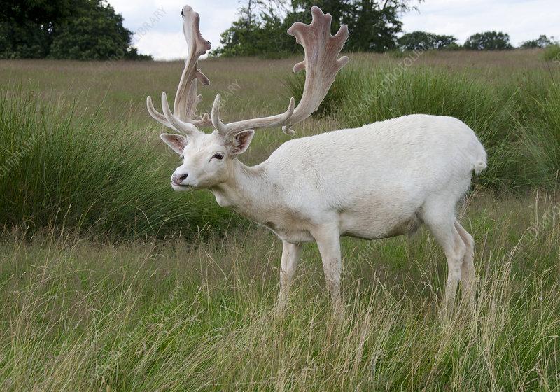 Male white fallow deer