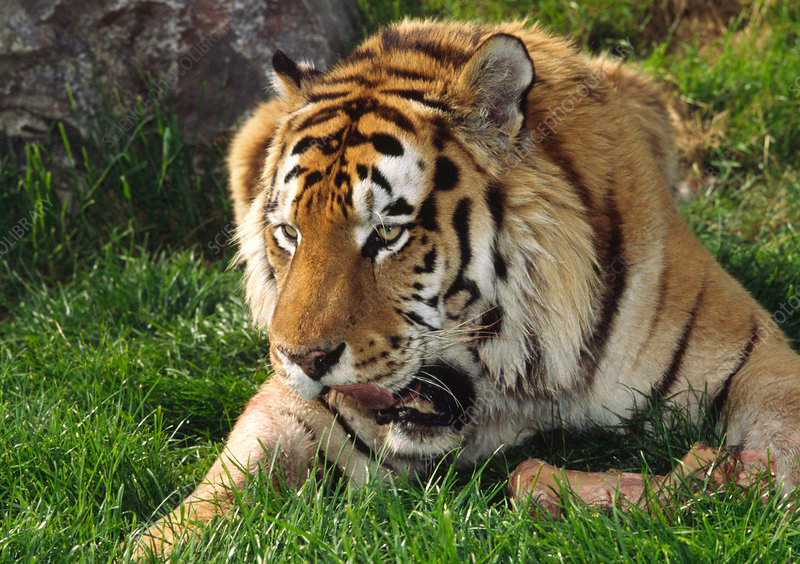 Siberian tiger with food