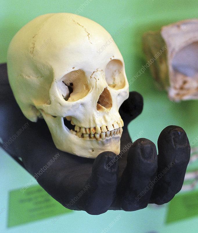 Human skull in a gorilla hand