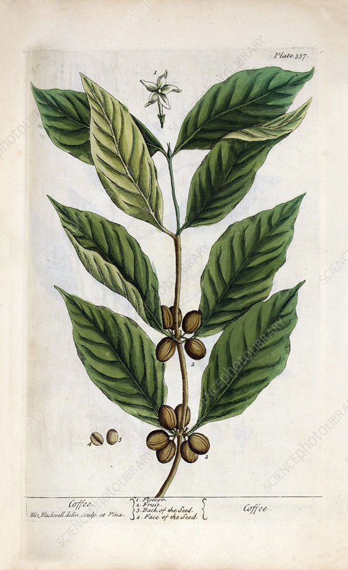 Coffee plant, 18th century