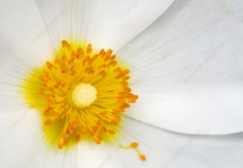 White anemone flower abstract
